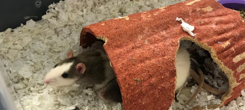 Mr. Lamble's Rats